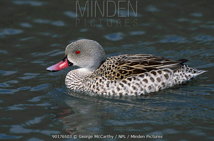 Cape teal (Anas capensis) Sussex UK  -  George Mccarthy/ npl