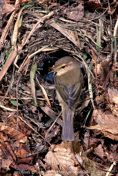 Chiffchaff at nest (Phylloscopus collybita) UK  -  George Mccarthy/ npl