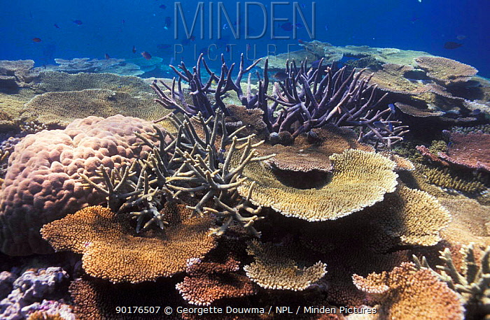Coral reef landscape with mainly (Acropora) corals Great Barrier Reef Australia  -  Georgette Douwma/ npl
