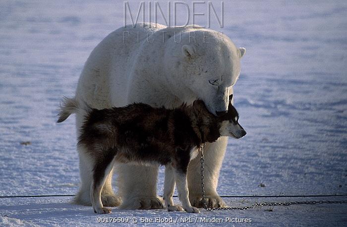 Polar bear (Ursus maritimus) with Husky dog Canada  -  Sue Flood/ npl