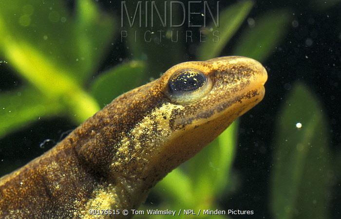 Close-up of head of Smooth newt (Triturus vulgaris) showing sensory pores,captive  -  Tom Walmsley/ npl