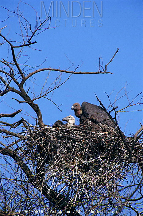 Indian white backed vulture with chick at nest (Gyps bengalensis) Keoladeo NP India  -  Ashok Jain/ npl