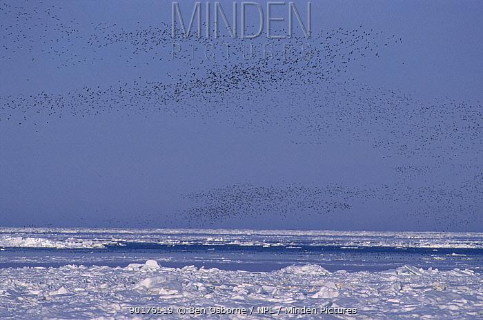 Crested auklet flock return to Talan Is at dusk (Aethia cristatella) Okhutsk E Russia  -  Ben Osborne/ npl