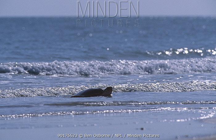 Flat backed turtle (Chelonia depressa) coming ashore to lay eggs Crab Is QLD Australia  -  Ben Osborne/ npl