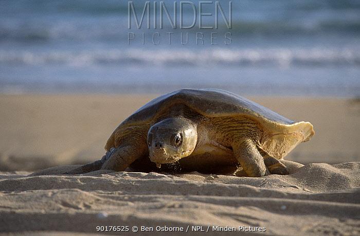 Flat backed turtle (Chelonia depressa) climbing up beach to lay eggs Crab Is QLD  -  Ben Osborne/ npl