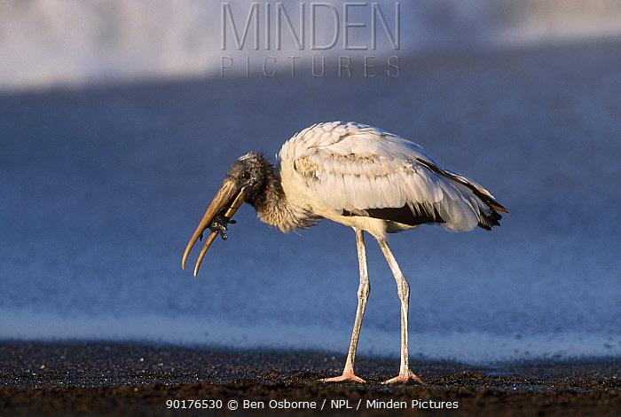 Olive ridley turtle hatchling predated by stork Costa Rica (Lepidochelys olivacea)  -  Ben Osborne/ npl