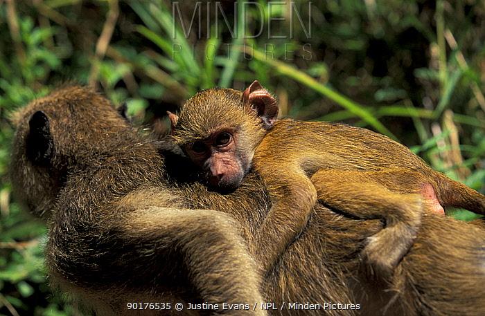 Yellow baboon carrying baby (Papio cynocephalus) Tanzania  -  Justine Evans/ npl