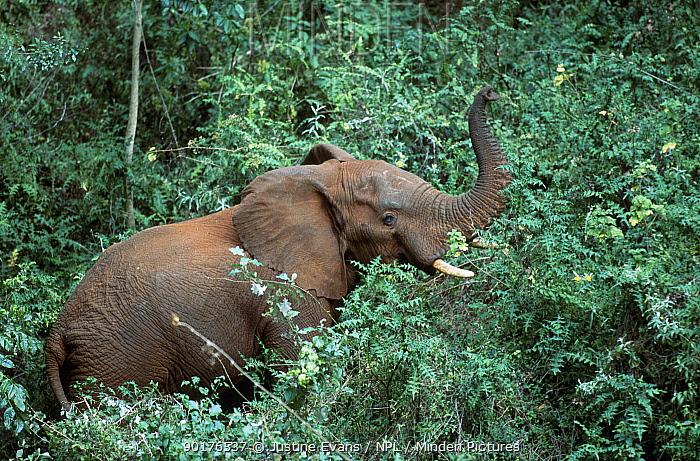 Cave elephant in forest vegetation of Mt Elgon NP Kenya 2002  -  Justine Evans/ npl