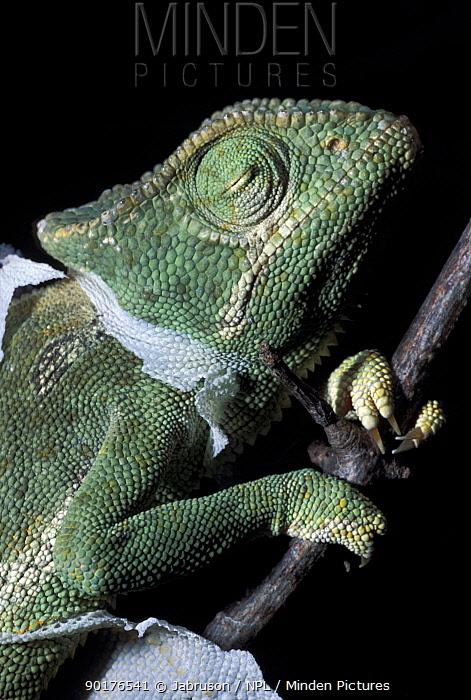 Graceful chameleon shedding skin (Chamaeleo gracialis) Tsavo East NP Kenya  -  Jabruson/ npl