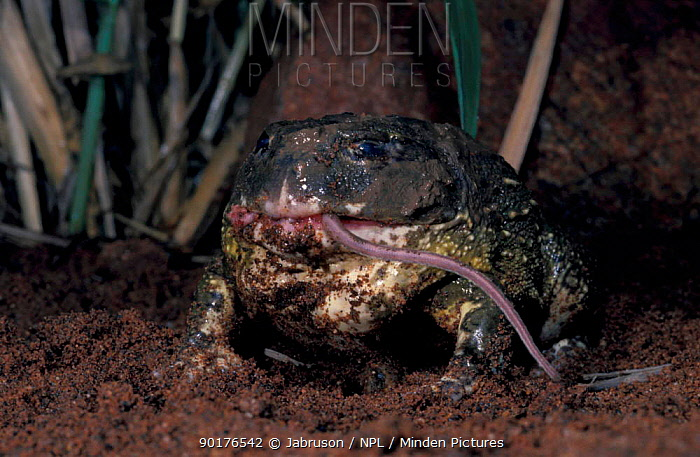 Bullfrog (Pyxicephalus flagrigula) feeding on mouse Eyeballs receded into top of head to help push food through mouth  -  Jabruson/ npl