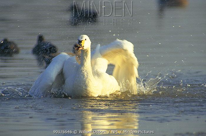 Bewick swan bathing in freshwater (Cygnus columbianus bewickii) Slimbridge WWT Gloucestershire, UK  -  William Osborn/ npl