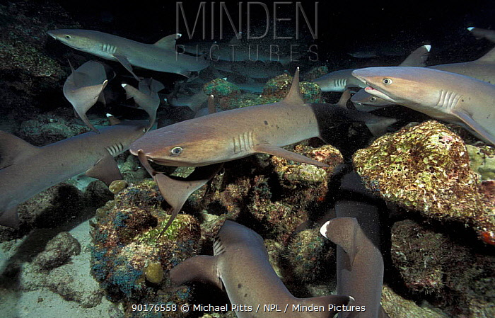 Whitetip reef sharks feeding at night (Triaenodon obesus) Cocos Is Costa Rica  -  Michael Pitts/ npl