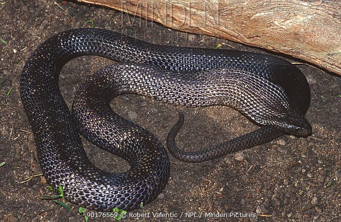 Blue bellied black snake, male in flattened threat pose (Pseudechis guttatus) Australia  -  Robert Valentic/ npl