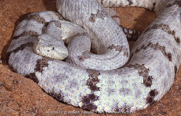 Rock rattlesnake (Crotalus lepidus lepidus) female, captive  -  Robert Valentic/ npl