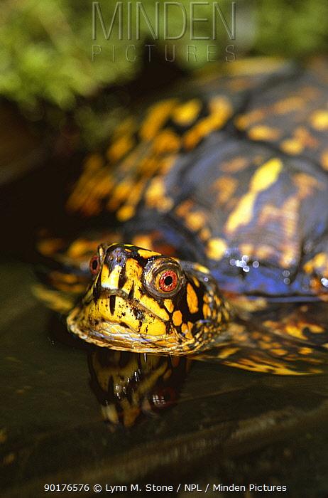 Eastern box turtle in water (Terrapene carolina carolina) Michigan, USA  -  Lynn M. Stone/ npl