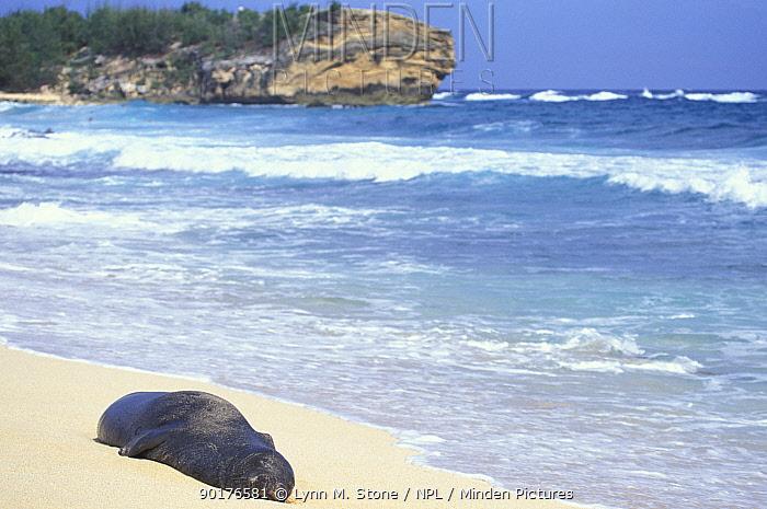 Hawaiian monk seal sleeping on beach (Monachus schauinslandi) Kauai, Hawaiiangered  -  Lynn M. Stone/ npl