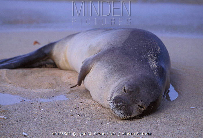 Hawaiian monk seal on beach (Monachus schauinslandi) Kauai, Hawaiiangered  -  Lynn M. Stone/ npl
