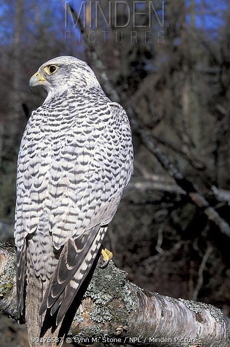 Gyrfalcon (Falco rusticolus) Alaska, US, captive  -  Lynn M. Stone/ npl