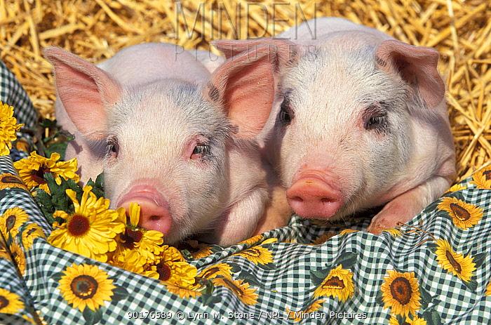 Two domestic piglets, mixed-breed (Sus scrofa domestica)  -  Lynn M. Stone/ npl