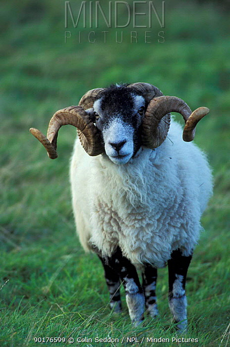 Swaledale sheep ram (Ovis aries) Cumbria UK  -  Colin Seddon/ npl
