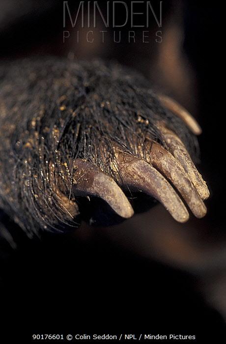 Close up of Badger's front paw (Meles meles) UK  -  Colin Seddon/ npl