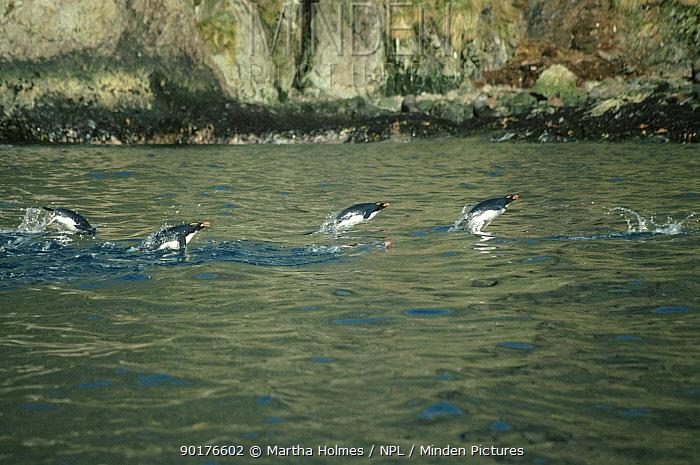 Macaroni penguins porpoising (Eudyptes chrysolophus) returning from feeding S  -  Martha Holmes/ npl