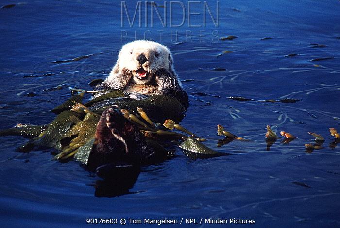Sea otter resting in kelp (Enhydra lutris) California USA  -  Tom Mangelsen/ npl