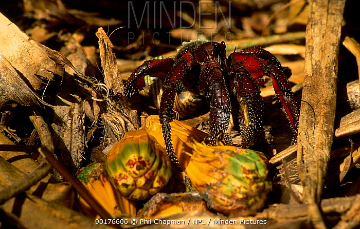 Giant Purple land hermit crab (Coenobita sp) Herson Island Favourite food is the oily nuts  -  Phil Chapman/ npl