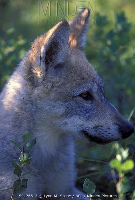 Grey wolf cub portrait (Canis lupus) USA  -  Lynn M. Stone/ npl