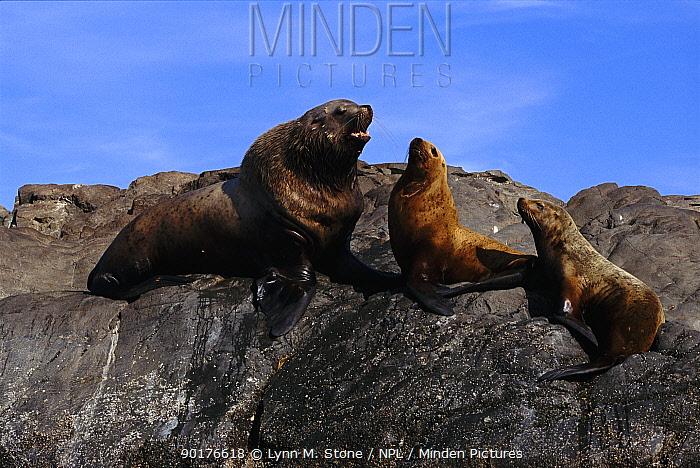 Steller, Northern sealion bull and females (Eumetopias jubata) Alaska  -  Lynn M. Stone/ npl