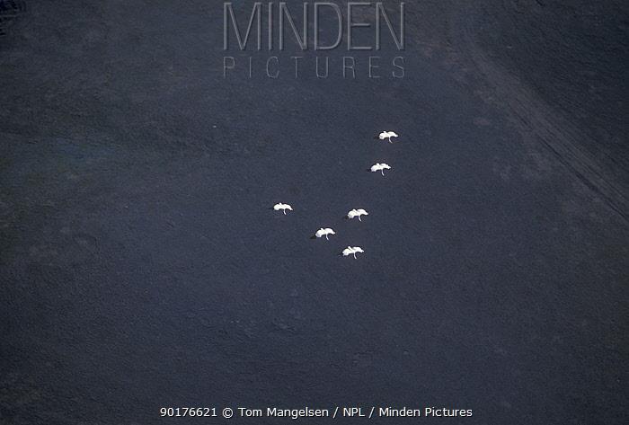 Whooping cranes fly over Canada (Grus americana) Saskatchewan  -  Tom Mangelsen/ npl