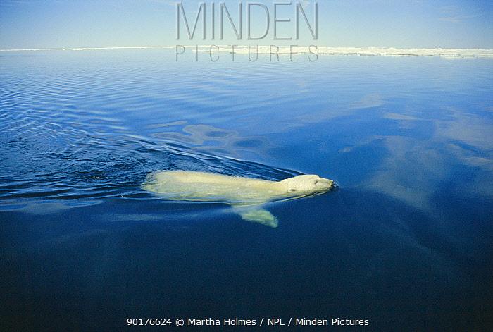Polar bear swimming Canada (Ursus maritimus) NW Territories  -  Martha Holmes/ npl