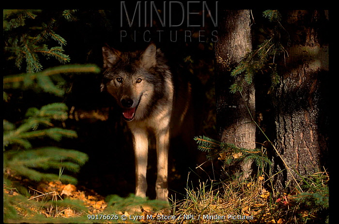 Grey wolf in woodland (Canis lupus) captive Montana USA  -  Lynn M. Stone/ npl