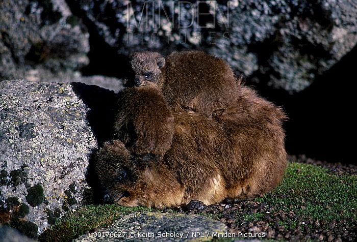 Rock hyrax with young (Procavia capensis) Mt Kenya NP Kenya  -  Keith Scholey/ npl