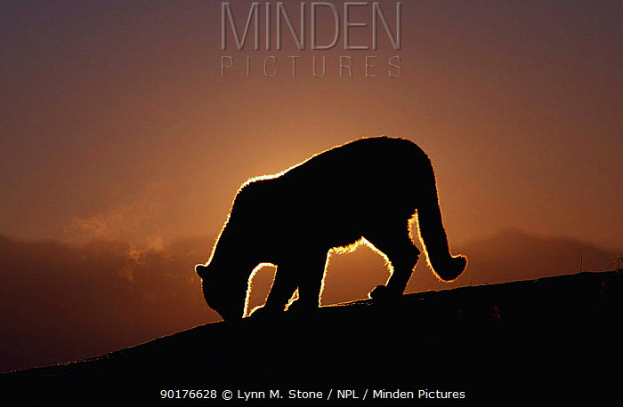 Puma, Cougar, Mountain lion silhouette at dawn (Felis concolor) captive Montana  -  Lynn M. Stone/ npl