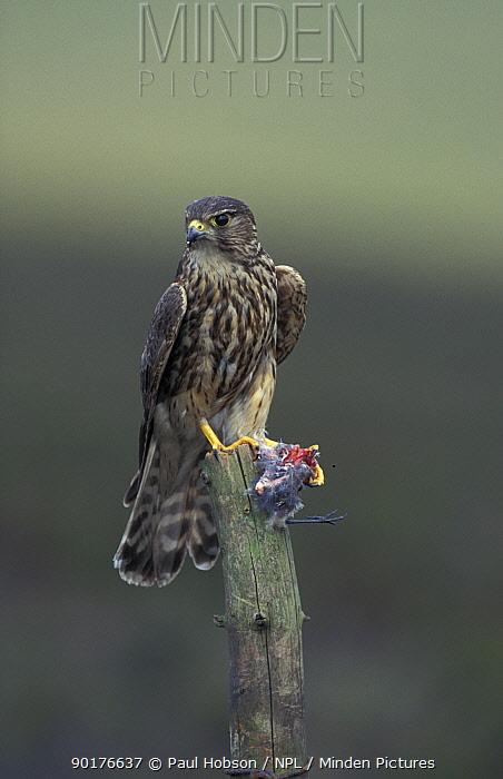 Female Merlin with prey (Falco columbarius) UK  -  Paul Hobson/ npl