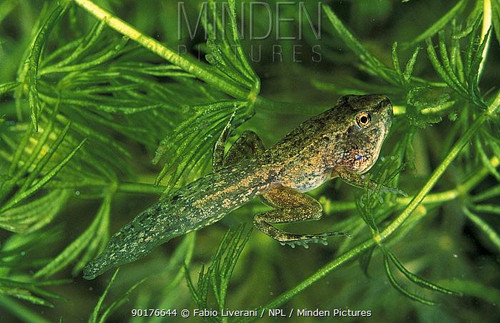 Agile frog (Rana dalmatina) juvenile with tail, front and back legs, Italy  -  Fabio Liverani/ npl