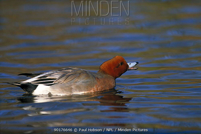 European widgeon duck in threatening posture (Anas penelope) Norfolk UK  -  Paul Hobson/ npl