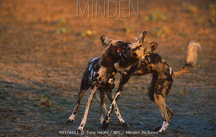 African wild dogs play fighting (Lycaon pictus) Mana Pools NP Zimbabwe  -  Tony Heald/ npl