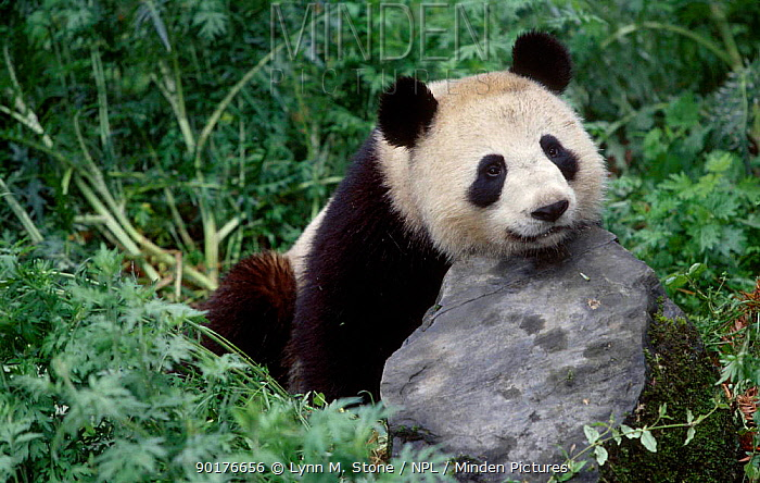 Giant Panda resting head on rock (Ailuropoda melanoleuca) Qionglai Mts Sichuan China Captive  -  Lynn M. Stone/ npl
