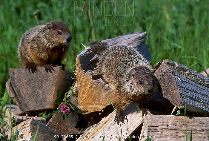 Woodchucks on wood (Marmota monax) captive Minnesota USA  -  Lynn M. Stone/ npl