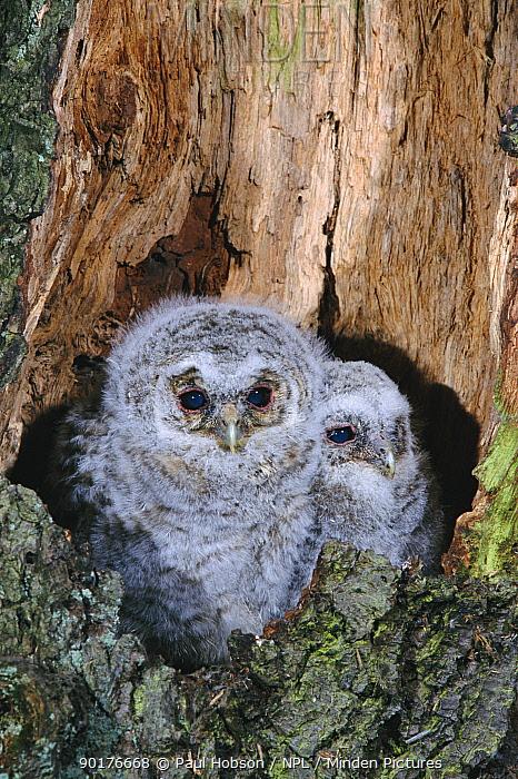 Tawny owl chicks in nest (Strix aluco) Yorkshire, UK  -  Paul Hobson/ npl