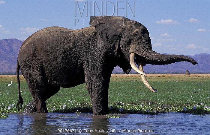 African elephant shaking head (Loxodonta africana) Mana Pools Zimbabwe  -  Tony Heald/ npl