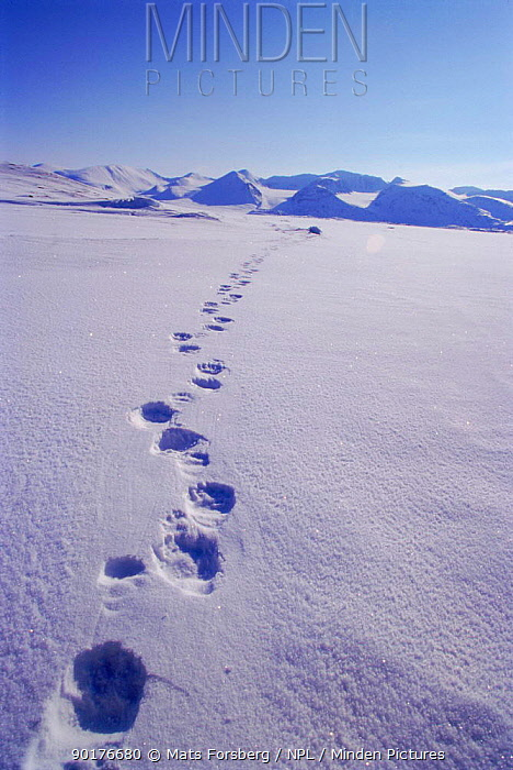 Polar Bear tracks in snow, Svalbard, Norway  -  Mats Forsberg/ npl