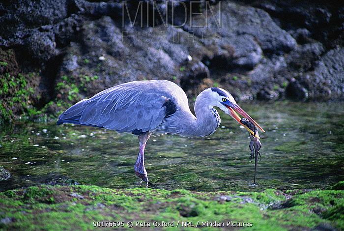 Great blue heron (Ardea herodias) eating marine iguana, Fernandina Island, Galapagos  -  Pete Oxford/ npl