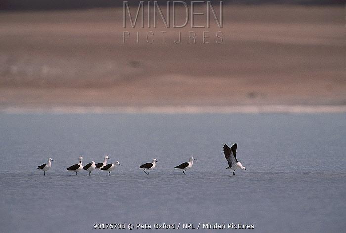 Andean avocets (Recurvirostra andina) on Laguna Blanca 4000m Altiplano Bolivia S America  -  Pete Oxford/ npl