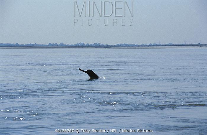 Gangetic dolphin (Platanista gangetica) Assam India Brahmaputra river nr Tezpur  -  Toby Sinclair/ npl