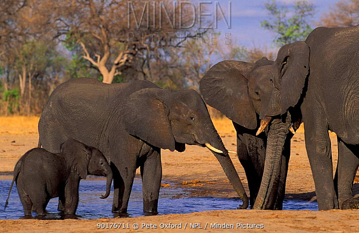 African elephants at waterhole (Loxodonta africana) Hwange NP Zimbabwe  -  Pete Oxford/ npl
