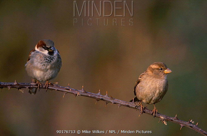 Common, House sparrow pair (Passer domesticus) UK  -  Mike Wilkes/ npl