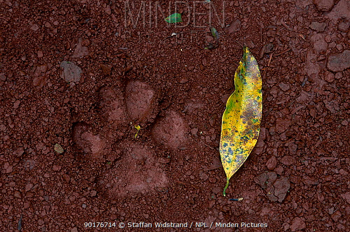 Jaguar footprint (Panthera onca) Iguazu falls Brazil  -  Staffan Widstrand/ npl